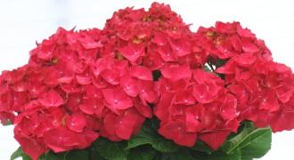 ◆送料無料◆母の日新定番アジサイが豊富 全18品種